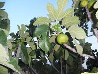 Figues biologique  en Tunisie