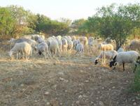 elevage des moutons à Sfax