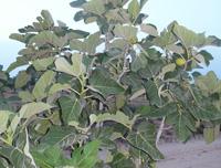 Figues bilogique à sfax