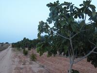 Figues Bio à Sfax
